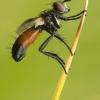 Cylindromyia interrupta - Dygliamusė | Fotografijos autorius : Vilius Grigaliūnas | © Macrogamta.lt | Šis tinklapis priklauso bendruomenei kuri domisi makro fotografija ir fotografuoja gyvąjį makro pasaulį.