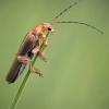 Minkštavabalis - Cantharis sp. | Fotografijos autorius : Vilius Grigaliūnas | © Macrogamta.lt | Šis tinklapis priklauso bendruomenei kuri domisi makro fotografija ir fotografuoja gyvąjį makro pasaulį.