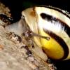 Šviesialūpė dryžė - Cepaea hortensis | Fotografijos autorius : Rasa Gražulevičiūtė | © Macrogamta.lt | Šis tinklapis priklauso bendruomenei kuri domisi makro fotografija ir fotografuoja gyvąjį makro pasaulį.