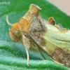 Diachrysia tutti [=stenochrysis] - Žaliasis juostuotasis žvilgūnas | Fotografijos autorius : Gediminas Gražulevičius | © Macrogamta.lt | Šis tinklapis priklauso bendruomenei kuri domisi makro fotografija ir fotografuoja gyvąjį makro pasaulį.