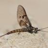Lašalas - Ephemeroptera sp.   Fotografijos autorius : Gediminas Gražulevičius   © Macrogamta.lt   Šis tinklapis priklauso bendruomenei kuri domisi makro fotografija ir fotografuoja gyvąjį makro pasaulį.