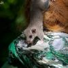 Didžioji miegapele - Glis glis | Fotografijos autorius : Gediminas Gražulevičius | © Macrogamta.lt | Šis tinklapis priklauso bendruomenei kuri domisi makro fotografija ir fotografuoja gyvąjį makro pasaulį.