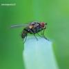 Anthomyiidae - Žiedenė   Fotografijos autorius : Gediminas Gražulevičius   © Macrogamta.lt   Šis tinklapis priklauso bendruomenei kuri domisi makro fotografija ir fotografuoja gyvąjį makro pasaulį.