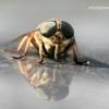 Tabanus sp. - Sparva | Fotografijos autorius : Gediminas Gražulevičius | © Macrogamta.lt | Šis tinklapis priklauso bendruomenei kuri domisi makro fotografija ir fotografuoja gyvąjį makro pasaulį.