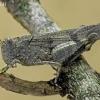 Mėlynsparnis tarkšlys - Oedipoda caerulescens | Fotografijos autorius : Armandas Kazlauskas | © Macrogamta.lt | Šis tinklapis priklauso bendruomenei kuri domisi makro fotografija ir fotografuoja gyvąjį makro pasaulį.