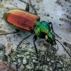 Šešiataškis žvitražygis - Agonum sexpunctatum  | Fotografijos autorius : Oskaras Venckus | © Macrogamta.lt | Šis tinklapis priklauso bendruomenei kuri domisi makro fotografija ir fotografuoja gyvąjį makro pasaulį.