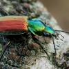 Šešiataškis žvitražygis - Agonum sexpunctatum    Fotografijos autorius : Oskaras Venckus   © Macrogamta.lt   Šis tinklapis priklauso bendruomenei kuri domisi makro fotografija ir fotografuoja gyvąjį makro pasaulį.