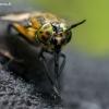 Aklys - Chrysops sp. | Fotografijos autorius : Oskaras Venckus | © Macrogamta.lt | Šis tinklapis priklauso bendruomenei kuri domisi makro fotografija ir fotografuoja gyvąjį makro pasaulį.