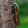 Beržinis ragauodegis - Tremex fuscicornis | Fotografijos autorius : Oskaras Venckus | © Macrogamta.lt | Šis tinklapis priklauso bendruomenei kuri domisi makro fotografija ir fotografuoja gyvąjį makro pasaulį.