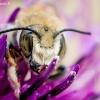 Bitė - Apidae sp.   Fotografijos autorius : Oskaras Venckus   © Macrogamta.lt   Šis tinklapis priklauso bendruomenei kuri domisi makro fotografija ir fotografuoja gyvąjį makro pasaulį.