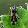 Vaismedinė žiedblakė - Anthocoris nemorum | Fotografijos autorius : Oskaras Venckus | © Macrogamta.lt | Šis tinklapis priklauso bendruomenei kuri domisi makro fotografija ir fotografuoja gyvąjį makro pasaulį.