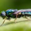 Plokščiamusė - Microchrysa polita | Fotografijos autorius : Oskaras Venckus | © Macrogamta.lt | Šis tinklapis priklauso bendruomenei kuri domisi makro fotografija ir fotografuoja gyvąjį makro pasaulį.