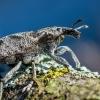 Dagilinis straubliukas - Cleonis pigra  | Fotografijos autorius : Oskaras Venckus | © Macrogamta.lt | Šis tinklapis priklauso bendruomenei kuri domisi makro fotografija ir fotografuoja gyvąjį makro pasaulį.