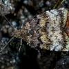 Obelinė lapsukinė kandis - Choreutis pariana  | Fotografijos autorius : Oskaras Venckus | © Macrogamta.lt | Šis tinklapis priklauso bendruomenei kuri domisi makro fotografija ir fotografuoja gyvąjį makro pasaulį.