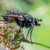 Dygliamusė - Eriothrix rufomaculata    Fotografijos autorius : Oskaras Venckus   © Macrogamta.lt   Šis tinklapis priklauso bendruomenei kuri domisi makro fotografija ir fotografuoja gyvąjį makro pasaulį.