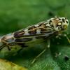 Cikadelė - Eupteryx florida | Fotografijos autorius : Oskaras Venckus | © Macrogamta.lt | Šis tinklapis priklauso bendruomenei kuri domisi makro fotografija ir fotografuoja gyvąjį makro pasaulį.