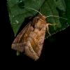 Bulvinis pelėdgalvis - Hydraecia micacea    Fotografijos autorius : Oskaras Venckus   © Macrogamta.lt   Šis tinklapis priklauso bendruomenei kuri domisi makro fotografija ir fotografuoja gyvąjį makro pasaulį.