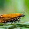 Oranžinė latronimfa - Lathronympha strigana | Fotografijos autorius : Oskaras Venckus | © Macrogamta.lt | Šis tinklapis priklauso bendruomenei kuri domisi makro fotografija ir fotografuoja gyvąjį makro pasaulį.