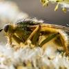 Geltonoji mėšlamusė - Scathophaga stercoraria | Fotografijos autorius : Oskaras Venckus | © Macrogamta.lt | Šis tinklapis priklauso bendruomenei kuri domisi makro fotografija ir fotografuoja gyvąjį makro pasaulį.