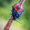 Mėlynoji skydblakė - Zicrona caerulea, nimfa | Fotografijos autorius : Oskaras Venckus | © Macrogamta.lt | Šis tinklapis priklauso bendruomenei kuri domisi makro fotografija ir fotografuoja gyvąjį makro pasaulį.