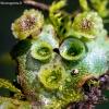 Maršantija - Marchantia sp.  | Fotografijos autorius : Oskaras Venckus | © Macrogamta.lt | Šis tinklapis priklauso bendruomenei kuri domisi makro fotografija ir fotografuoja gyvąjį makro pasaulį.