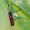 Mayetiola destructor ? | Fotografijos autorius : Oskaras Venckus | © Macrogamta.lt | Šis tinklapis priklauso bendruomenei kuri domisi makro fotografija ir fotografuoja gyvąjį makro pasaulį.