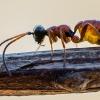 Vytis - Gelis sp.   Fotografijos autorius : Oskaras Venckus   © Macrogamta.lt   Šis tinklapis priklauso bendruomenei kuri domisi makro fotografija ir fotografuoja gyvąjį makro pasaulį.