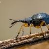 Apionas - Protapion fulvipes  | Fotografijos autorius : Oskaras Venckus | © Macrogamta.lt | Šis tinklapis priklauso bendruomenei kuri domisi makro fotografija ir fotografuoja gyvąjį makro pasaulį.