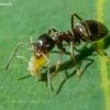 Juodoji medžių skruzdėlė - Lasius fuliginosus, ir amaras - Panaphis juglandis | Fotografijos autorius : Oskaras Venckus | © Macrogamta.lt | Šis tinklapis priklauso bendruomenei kuri domisi makro fotografija ir fotografuoja gyvąjį makro pasaulį.