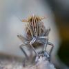 Cikadelė - Stenocranus major | Fotografijos autorius : Oskaras Venckus | © Macrogamta.lt | Šis tinklapis priklauso bendruomenei kuri domisi makro fotografija ir fotografuoja gyvąjį makro pasaulį.