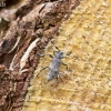 Mažasis pušiagraužis - Acanthocinus griseus | Fotografijos autorius : Giedrius Markevičius | © Macrogamta.lt | Šis tinklapis priklauso bendruomenei kuri domisi makro fotografija ir fotografuoja gyvąjį makro pasaulį.