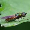 Plokščiamusė - Chloromyia formosa | Fotografijos autorius : Žilvinas Pūtys | © Macrogamta.lt | Šis tinklapis priklauso bendruomenei kuri domisi makro fotografija ir fotografuoja gyvąjį makro pasaulį.