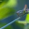 Paprastasis spragtukas - Roeseliana roeselii ♀, nimfa | Fotografijos autorius : Žilvinas Pūtys | © Macrogamta.lt | Šis tinklapis priklauso bendruomenei kuri domisi makro fotografija ir fotografuoja gyvąjį makro pasaulį.