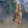 Paprastasis spragtukas - Roeseliana roeselii ♂, nimfa | Fotografijos autorius : Žilvinas Pūtys | © Macrogamta.lt | Šis tinklapis priklauso bendruomenei kuri domisi makro fotografija ir fotografuoja gyvąjį makro pasaulį.