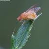 Girinukė - Sapromyza sexpunctata | Fotografijos autorius : Žilvinas Pūtys | © Macrogamta.lt | Šis tinklapis priklauso bendruomenei kuri domisi makro fotografija ir fotografuoja gyvąjį makro pasaulį.