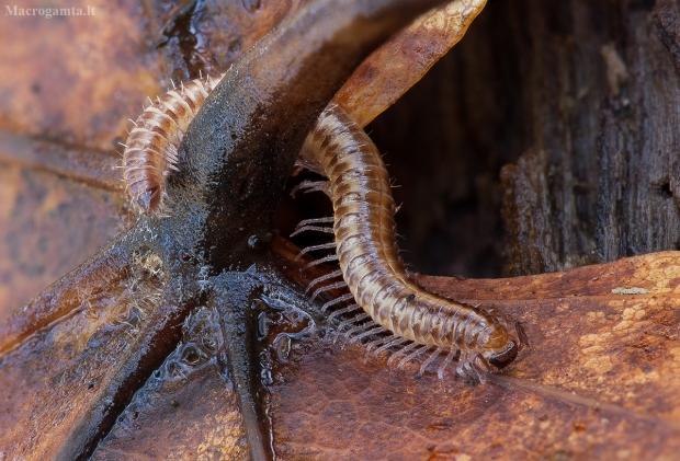 Šimtakojis - Strongylosoma stigmatosum   Fotografijos autorius : Žilvinas Pūtys   © Macrogamta.lt   Šis tinklapis priklauso bendruomenei kuri domisi makro fotografija ir fotografuoja gyvąjį makro pasaulį.