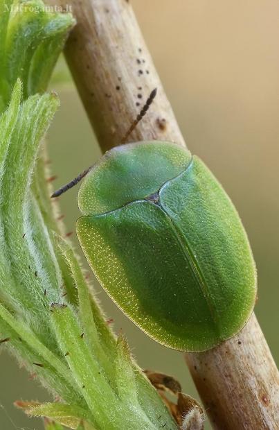 Žaliasis skydinukas - Cassida viridis  | Fotografijos autorius : Gintautas Steiblys | © Macrogamta.lt | Šis tinklapis priklauso bendruomenei kuri domisi makro fotografija ir fotografuoja gyvąjį makro pasaulį.