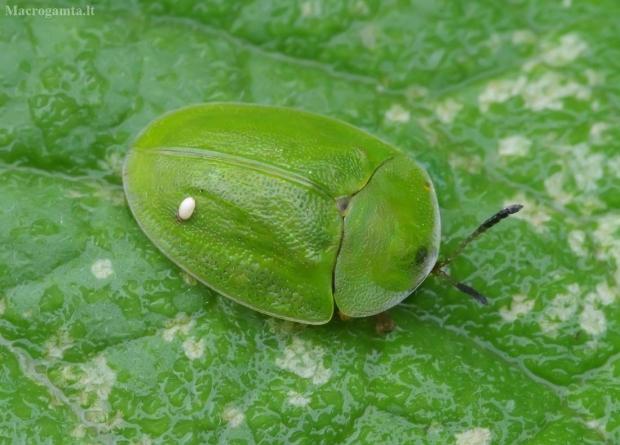 Žaliasis skydinukas - Cassida viridis   Fotografijos autorius : Romas Ferenca   © Macrogamta.lt   Šis tinklapis priklauso bendruomenei kuri domisi makro fotografija ir fotografuoja gyvąjį makro pasaulį.