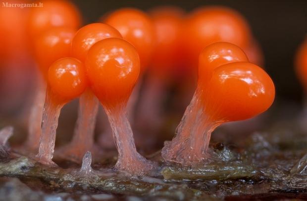 Apgaulusis krekenis - Trichia decipiens | Fotografijos autorius : Žilvinas Pūtys | © Macrogamta.lt | Šis tinklapis priklauso bendruomenei kuri domisi makro fotografija ir fotografuoja gyvąjį makro pasaulį.