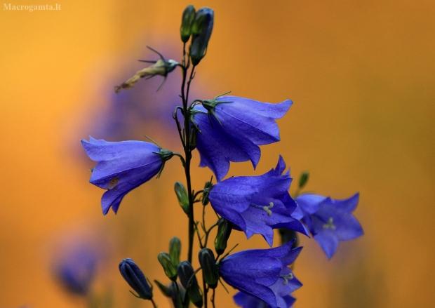 Apskritalapis katilėlis - Campanula rotundifolia | Fotografijos autorius : Ramunė Vakarė | © Macrogamta.lt | Šis tinklapis priklauso bendruomenei kuri domisi makro fotografija ir fotografuoja gyvąjį makro pasaulį.