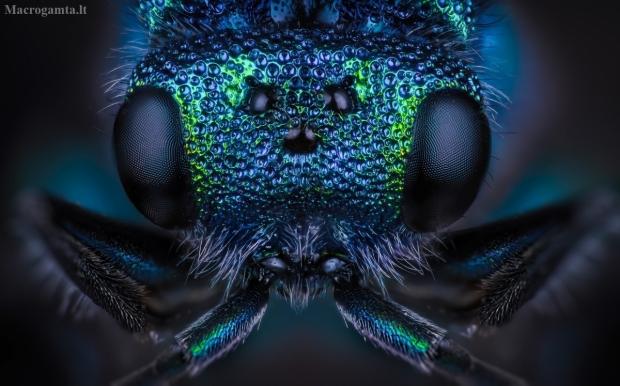 Auksavapsvė - Chrysis sp. | Fotografijos autorius : Eugenijus Kavaliauskas | © Macrogamta.lt | Šis tinklapis priklauso bendruomenei kuri domisi makro fotografija ir fotografuoja gyvąjį makro pasaulį.