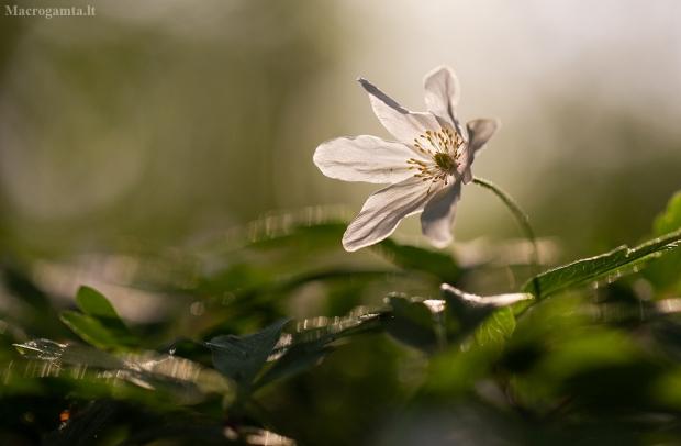 Baltažiedė plukė - Anemonoides nemorosa | Fotografijos autorius : Zita Gasiūnaitė | © Macrogamta.lt | Šis tinklapis priklauso bendruomenei kuri domisi makro fotografija ir fotografuoja gyvąjį makro pasaulį.
