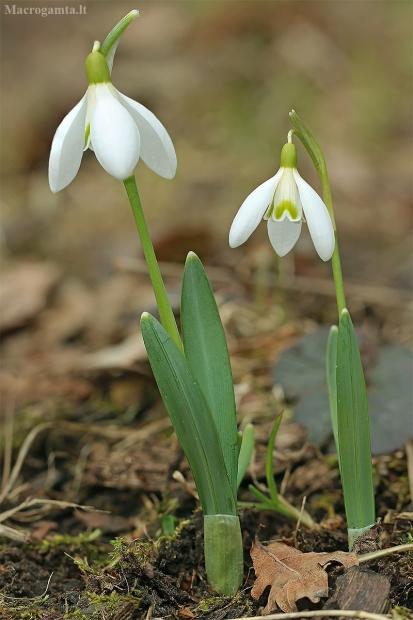 Baltoji snieguolė - Galanthus nivalis   Fotografijos autorius : Gintautas Steiblys   © Macrogamta.lt   Šis tinklapis priklauso bendruomenei kuri domisi makro fotografija ir fotografuoja gyvąjį makro pasaulį.