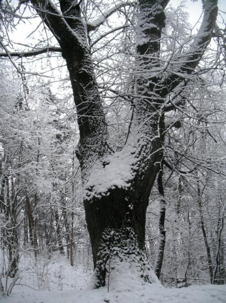 Šeškinės ozo baltoji tuopa - Populus alba | Fotografijos autorius : Aleksandras Stabrauskas | © Macrogamta.lt | Šis tinklapis priklauso bendruomenei kuri domisi makro fotografija ir fotografuoja gyvąjį makro pasaulį.