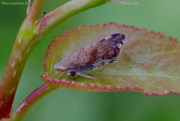 Cikadėlė - Fieberiella florii    Fotografijos autorius : Romas Ferenca   © Macrogamta.lt   Šis tinklapis priklauso bendruomenei kuri domisi makro fotografija ir fotografuoja gyvąjį makro pasaulį.