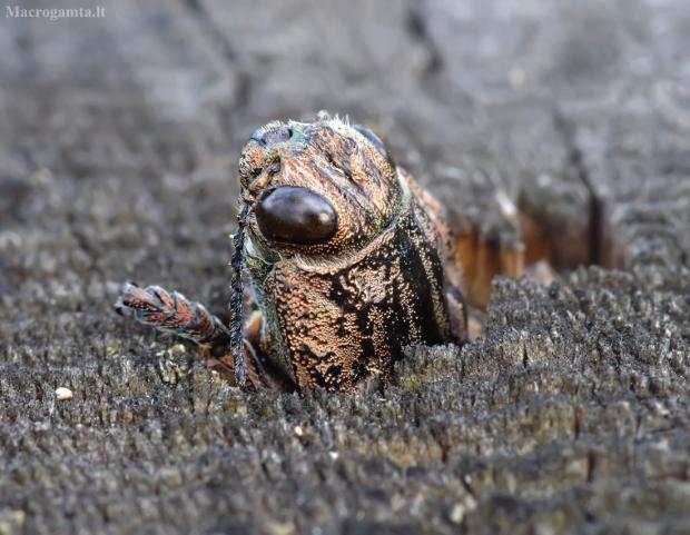 Didysis blizgiavabalis - Chalcophora mariana | Fotografijos autorius : Romas Ferenca | © Macrogamta.lt | Šis tinklapis priklauso bendruomenei kuri domisi makro fotografija ir fotografuoja gyvąjį makro pasaulį.