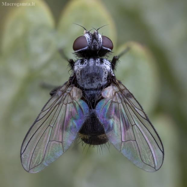 Dygliamusė - Microsoma exiguum | Fotografijos autorius : Žilvinas Pūtys | © Macrogamta.lt | Šis tinklapis priklauso bendruomenei kuri domisi makro fotografija ir fotografuoja gyvąjį makro pasaulį.