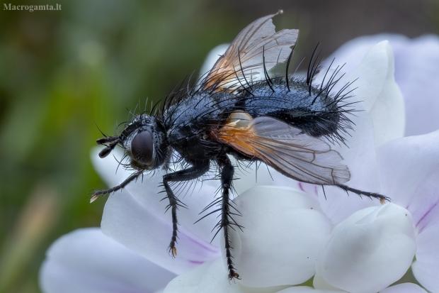 Dygliamusė - Zophomyia temula ♂ | Fotografijos autorius : Žilvinas Pūtys | © Macrogamta.lt | Šis tinklapis priklauso bendruomenei kuri domisi makro fotografija ir fotografuoja gyvąjį makro pasaulį.