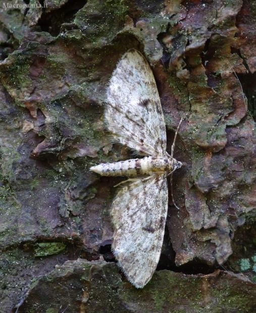 Eglinis sprindytis - Eupithecia tantillaria   Fotografijos autorius : Romas Ferenca   © Macrogamta.lt   Šis tinklapis priklauso bendruomenei kuri domisi makro fotografija ir fotografuoja gyvąjį makro pasaulį.