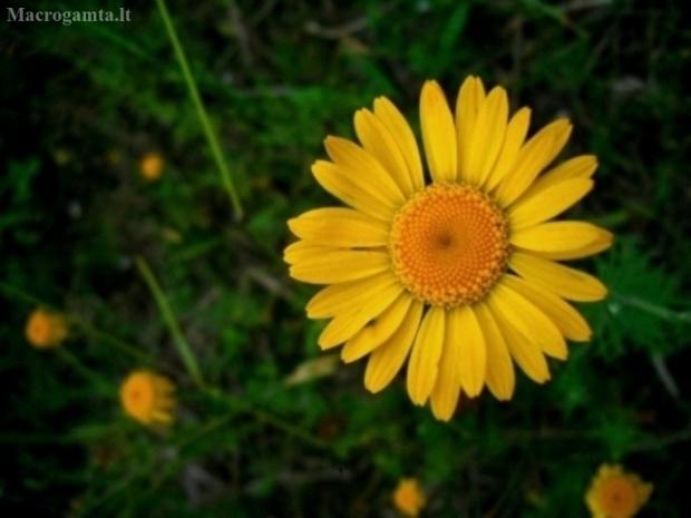 Geltonasis bobramunis - Cota tinctoria | Fotografijos autorius : Aleksandras Stabrauskas | © Macrogamta.lt | Šis tinklapis priklauso bendruomenei kuri domisi makro fotografija ir fotografuoja gyvąjį makro pasaulį.
